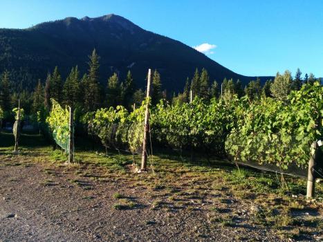 vineyard helper 072
